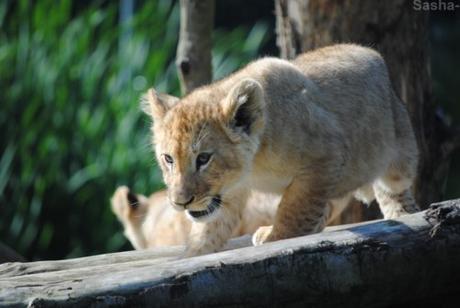 (22) Les petites princesses lionnes.