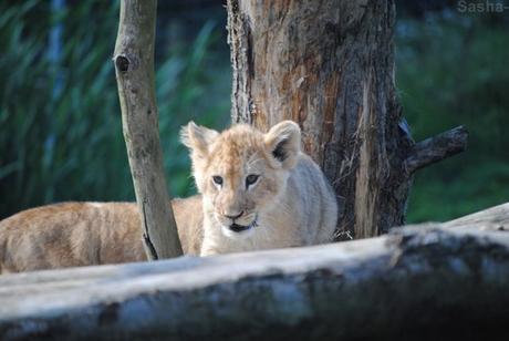 (17) Les petites princesses lionnes.