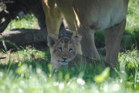 (29) Les petites princesses lionnes.