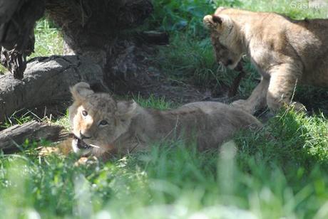 (3) Les petites princesses lionnes.