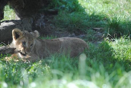 (7) Les petites princesses lionnes.