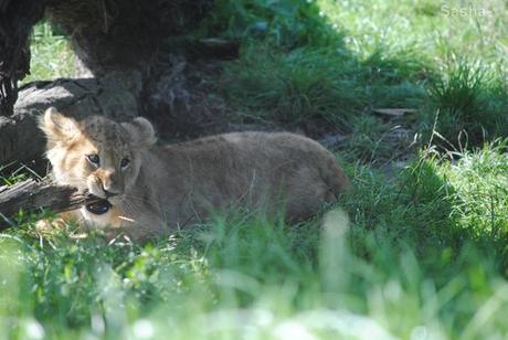 (6) Les petites princesses lionnes.