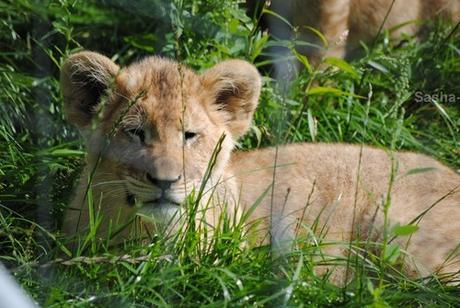 (34) Les petites princesses lionnes.