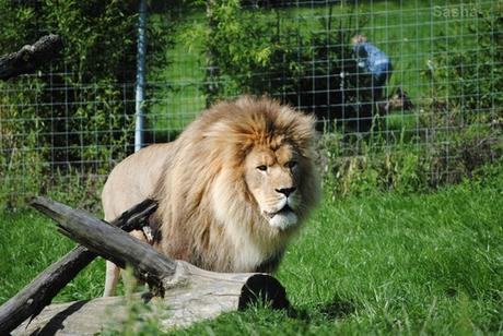 (3) Ramsès, le lion.