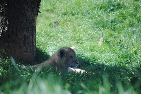 (13) Les petites princesses lionnes.