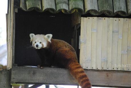 (3) Les pandas roux.