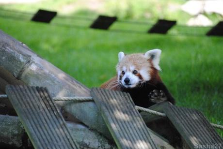 (7) Les pandas roux.