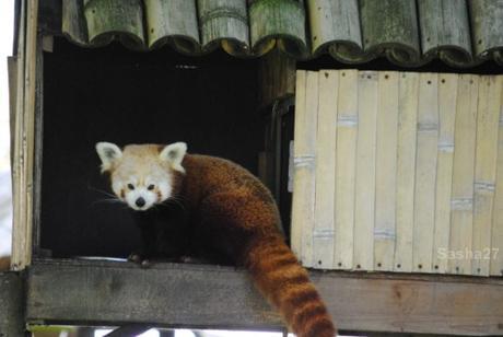 (2) Les pandas roux.