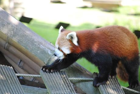 (8) Les pandas roux.
