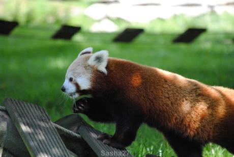 (5) Les pandas roux.