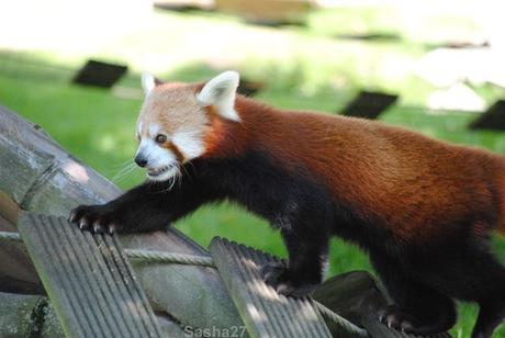 (13) Les pandas roux.