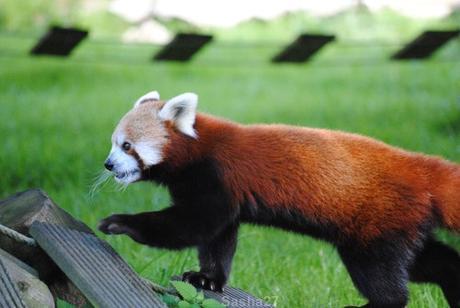(11) Les pandas roux.
