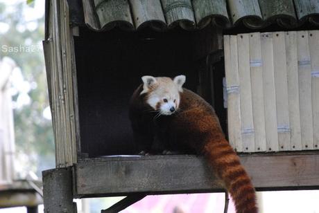 (1) Les pandas roux.