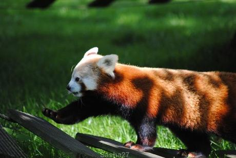 (4) Les pandas roux.