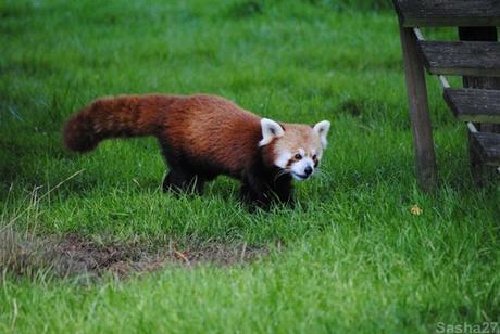 (9) Les pandas roux.