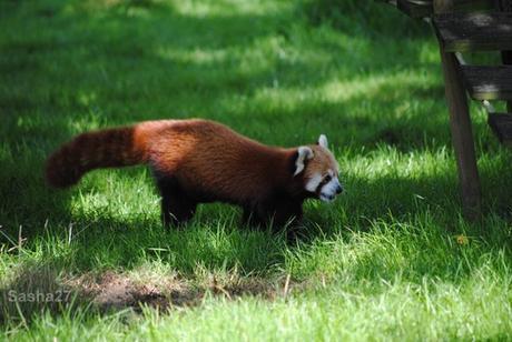 (6) Les pandas roux.