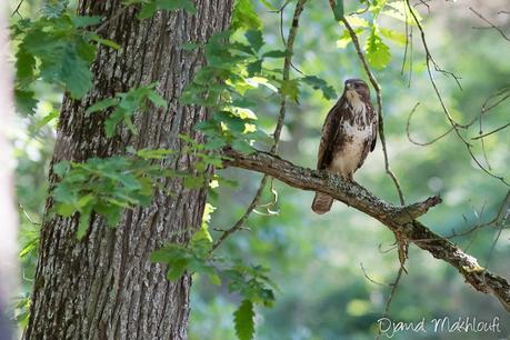 Buse variable - Rapace de la forêt de Fontainebleau