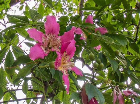 un arbre-bouteille à fleurs roses - paperblog