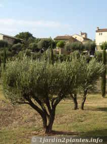 Tailler les arbres fruitiers augmente la r colte paperblog - Quand tailler olivier ...