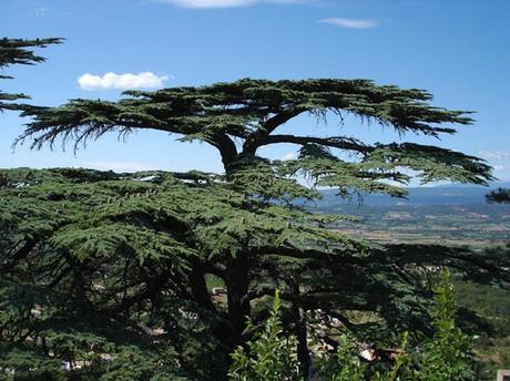 Un arbre remarquable le c dre du liban d couvrir - Cedre bleu du liban ...