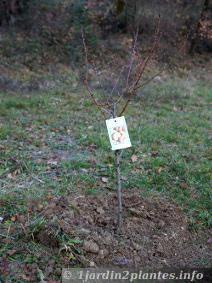 plantation des arbres fruitiers amandier abricotier poirier pommier p cher voir. Black Bedroom Furniture Sets. Home Design Ideas