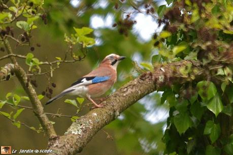 Week end de comptage national des oiseaux des jardins for Week end des jardins