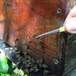 Afin de réaliser une étude morphométrique des abeilles ont été prélevées sur une centaine de colonies