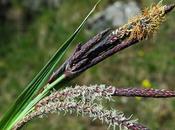 Laîche glauque (Carex flacca)