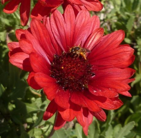 Quelques fleurs au jardin ce matin voir for Fleurs au jardin