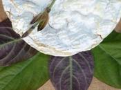 plante comestible goût Camembert