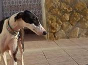ARAMIS jeune galgo adopter chez chiens galgos