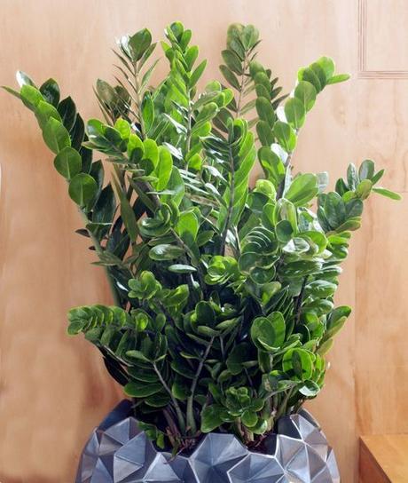 La plante du mois de juin le zamioculcas voir for Zamioculcas exterieur