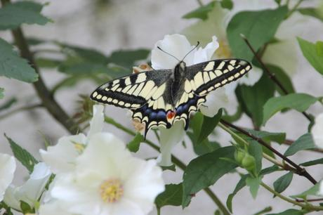 5 machaon veneux 9 juin 2016 002.jpg