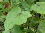 L'Épinard d'Asie, légume arbustif découvrir