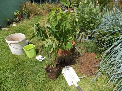 On continue la déco du jardin avec un Hibiscus Carrousel ...