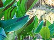 bulbe fleuri: canna