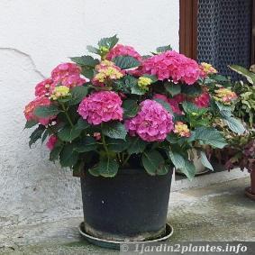 un arbuste fleurs l 39 hortensia lire. Black Bedroom Furniture Sets. Home Design Ideas