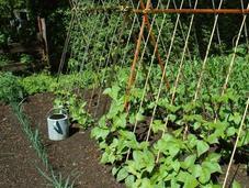 semis d'été jardin potager
