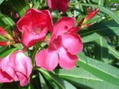 arbuste haie: laurier rose (attention très toxique)