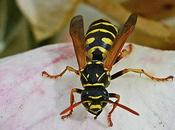 guêpes utiles prédatrices d'insectes chenilles