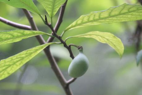 Asimina triloba paperblog for Portent fruit