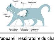 système respiratoire chat
