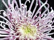 chrysanthème, fleur unique