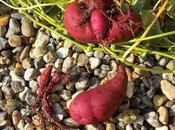 récolte patate douce 2016