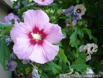 Un arbuste à fleurs: l\'hibiscus des jardins ou althéa | À Découvrir