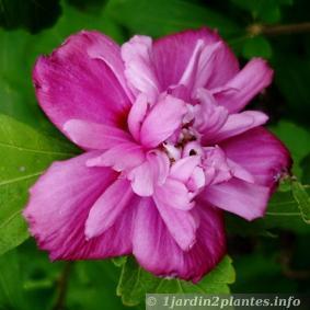 un arbuste fleurs l 39 hibiscus des jardins ou alth a. Black Bedroom Furniture Sets. Home Design Ideas