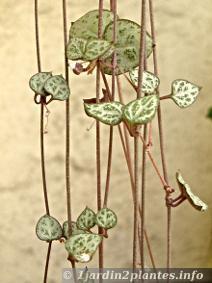 Le cerop gia cha ne des coeurs adorable plante verte d for Chaine de coeur plante entretien
