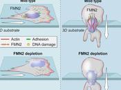 #cell #protéineFMN2 #actinepérinucléaire #migrationcellulaire #mélanome #métastatisation protéine FMN2 confère l'actine périnucléaire protection cours migration sous confinement permet métastatisation