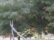 Chêne Roseaux