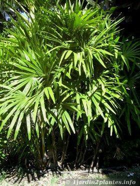 Un palmier d 39 int rieur qui pousse comme le bambou paperblog - Racine d un palmier ...